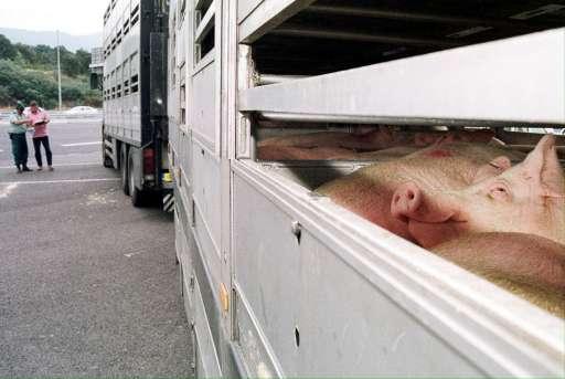 L'Efsa formule de nouvelles recommandations pour le transport des animaux