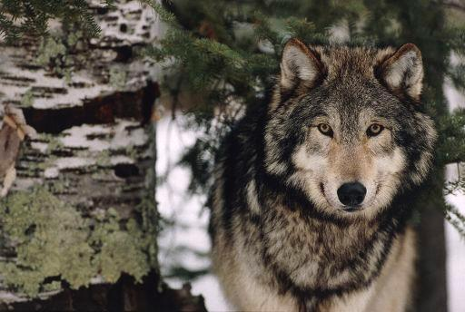 View of a solitary grey or timber wolf (Canis lupus). The grey wolf is found mainly in North America and in Asia, although there are residual populations in Mexico and Europe.  ©BELGA/wer