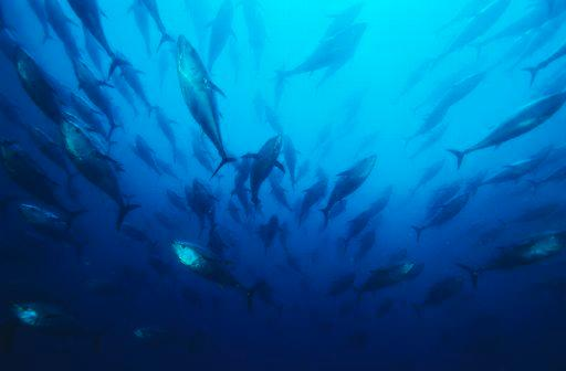 MEPs will debate whether to ban the trade in blue fin tuna this week ©Belga