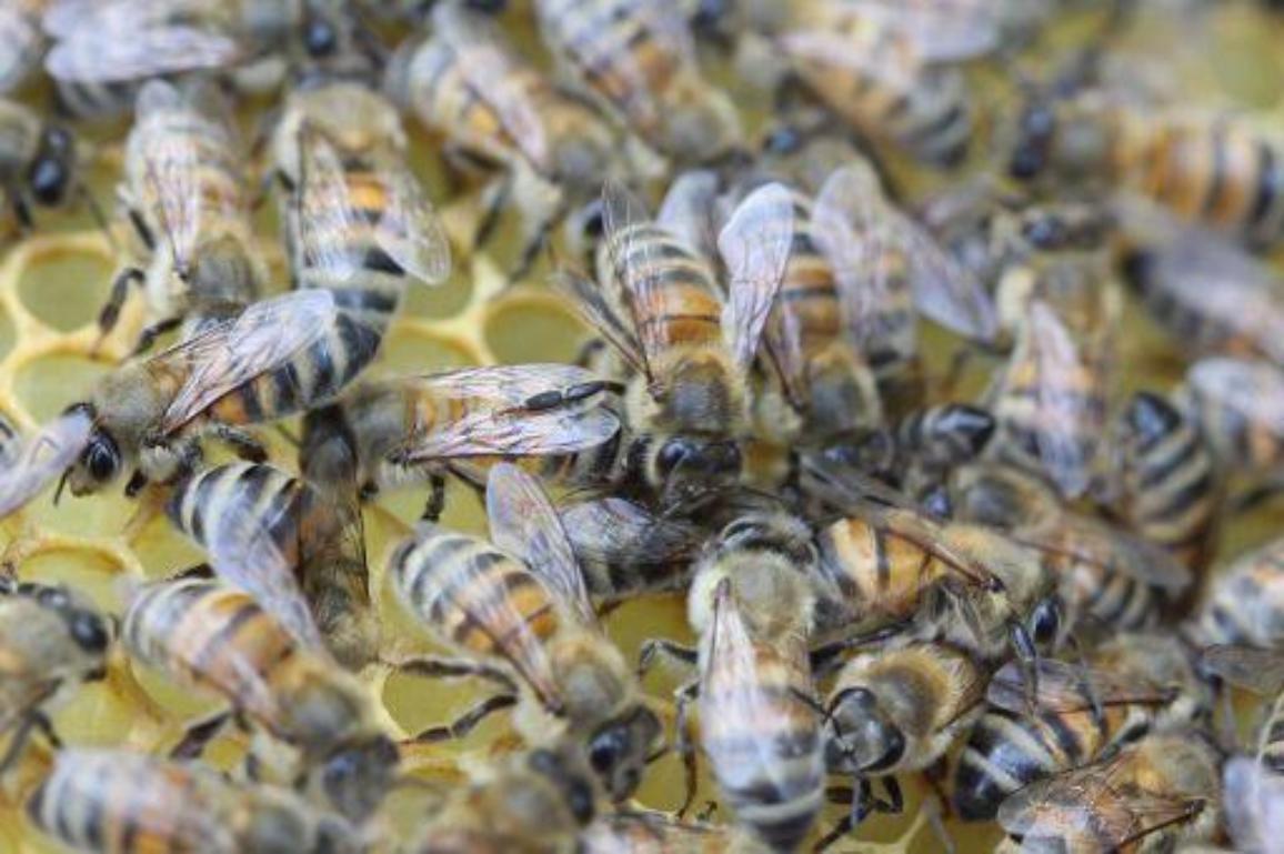 Algunas regiones de Europa sufren anualmente una mortalidad de hasta el 80% de su población de abejas ©BELGA_SEBASTIEN LAPEYRERE_20175647