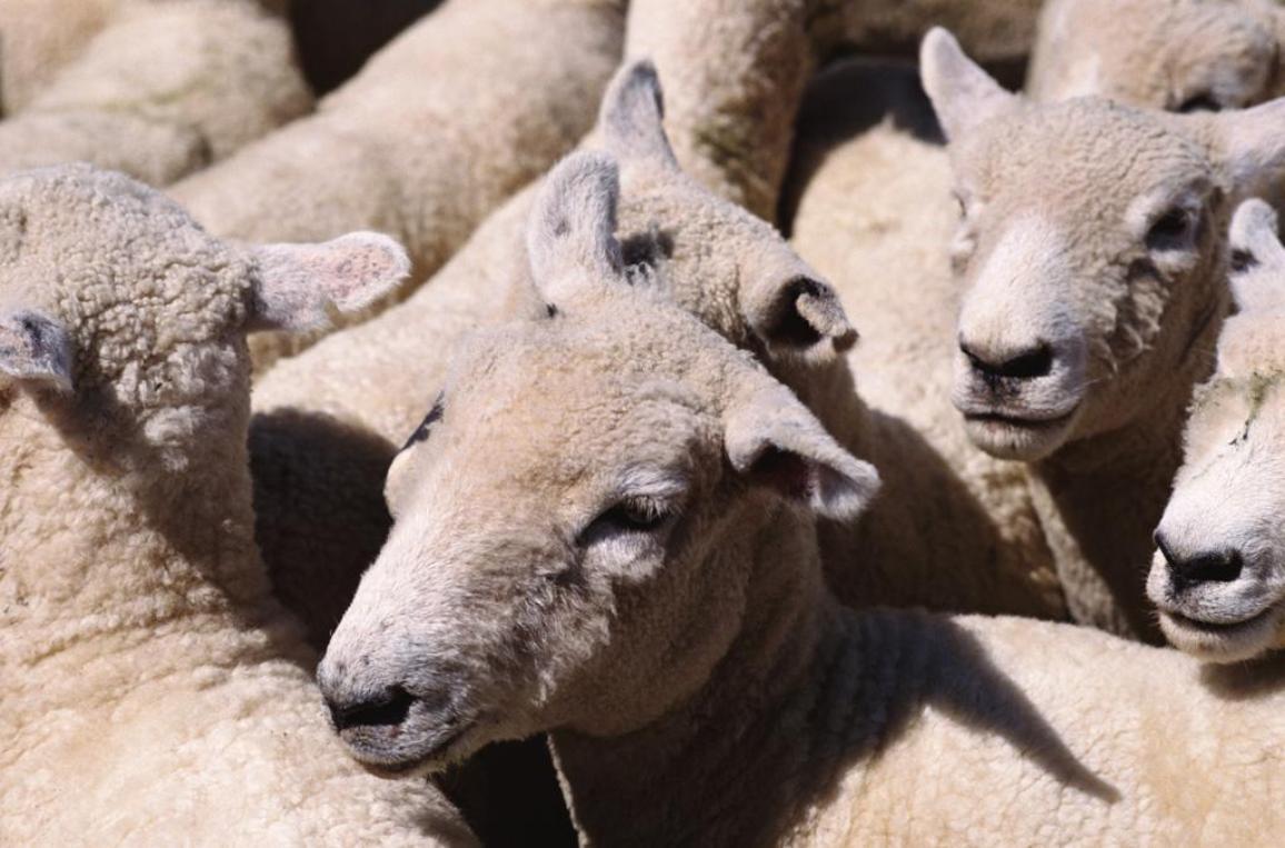 gregge di pecore©Getty Image