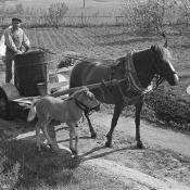 Horse with foal alongside pulling a farmer's small cart Finland, 1967