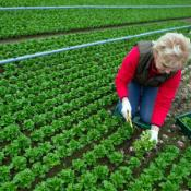 A woman cropping corn salad at an organic farm in Germany