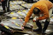 A fishmonger checks large bluefin tuna