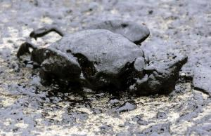 oil-soaked bodies of dead birds, victims of the New Zealand's biggest sea pollution disaster.© BELGA_AFP_B.Ambrose