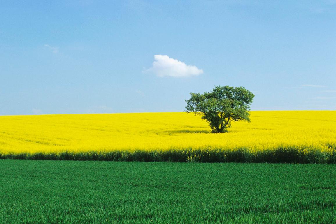Green wheat and yellow colza fields © BELGA_PHOTONONSTOP