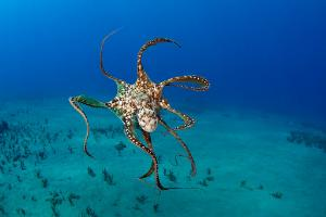 Day Octopus swimming