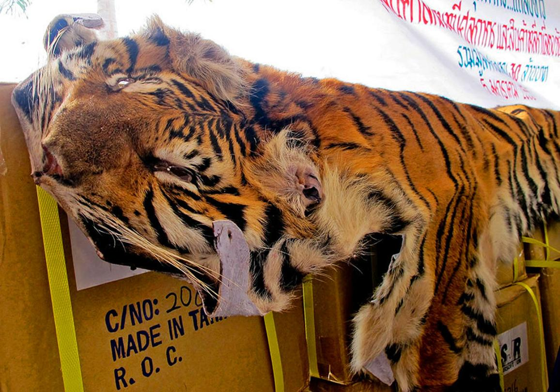 A seized tiger skin displayed by Thai customs officials