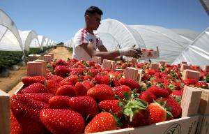 A Romanian seasonal harvest worker piles boxes filled with strawberries in Palos de la Frontera, Spain