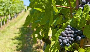 Blue ripe grapes in a vineyard.©BELGA_EASYFOTOSTOCK_H.Schneider