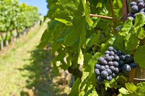 Blue ripe grapes in a vineyard.©BELGA_EASYFOTOSTOCK_H.Schneider