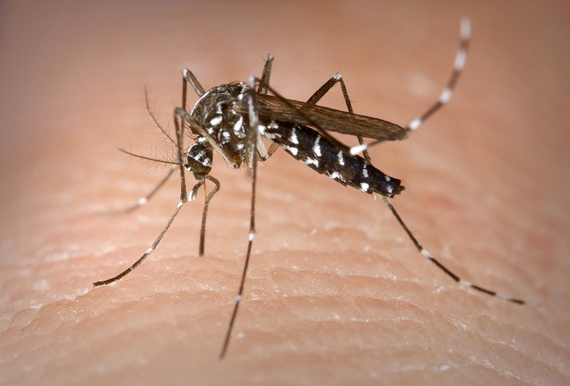 Asian tiger mosquito feeding on a human blood.
