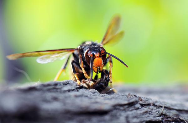 Asian hornet preying on a bee