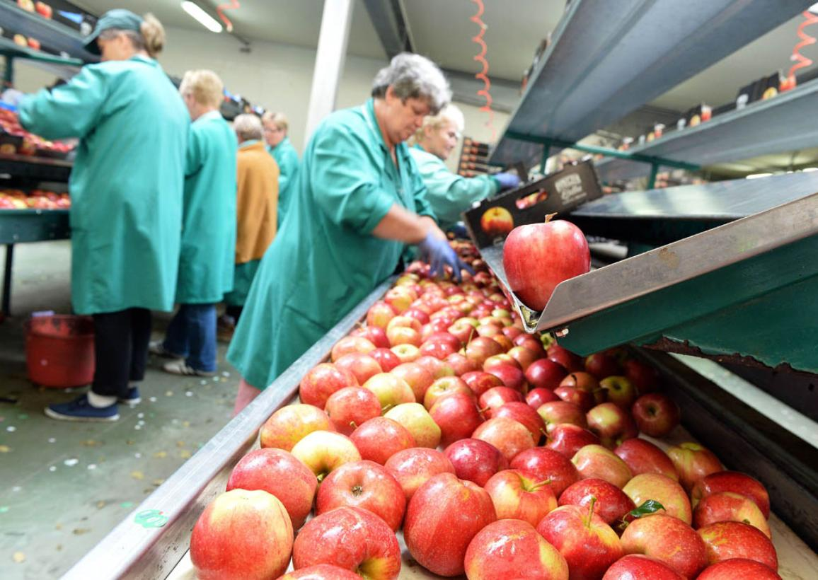 Apples are packed in a Polish fruit factory Rajpol in Wola Leczyszycka on September 3, 2014. ©BELGA_AFP_J.SKARZYNSKI