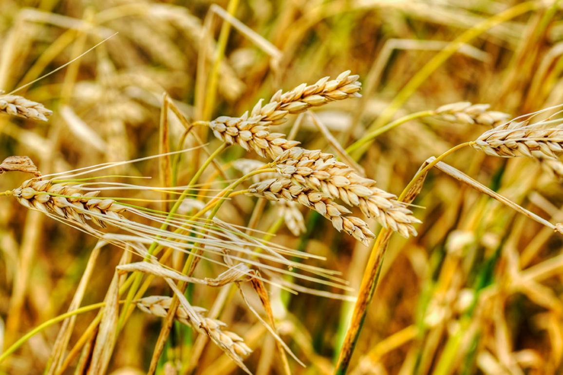 Členské státy budou moci zakázat pěstování geneticky modifikovaných plodin na svém území.