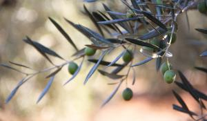 The Parliament will debate on the outbreak of Xylella Fastidiosa affecting olive trees