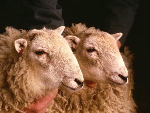 World's first sheep clones. The faces of identical insMeganins and insMoragins, the world's first cloned sheep aged 9 months.