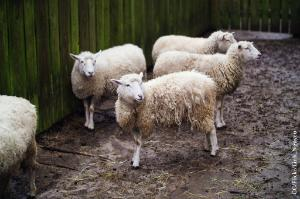 Cloned sheeps? ©CC/Flickr/Linh_Nguyen