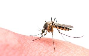 Zika virus, tiger mosquito biting someone