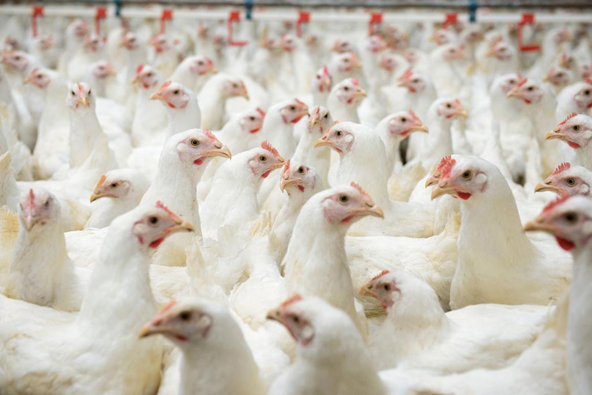 White chickens farm ©AP Images/ European Union-EP