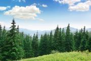Fir forest under a cloudy blue sky
