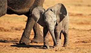 A baby African elephant (Loxodonta africana) pictured in the Addo Elephant National Park, South Africa. ©AP Images/ European Union-EP