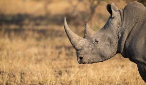Lone rhino standing on open area looking for safety from poacher