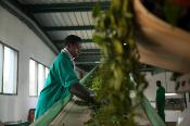 A worker sorts the green leaf tea before it reaches the main processing floor at the Kitabi Tea Processing Facility in Rwanda.