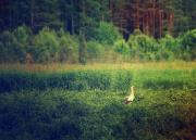 White stork bird in the meadow near forest, natural outdoor landscape.jpg
