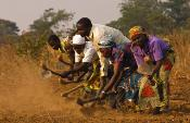 A group of farmers manually plowing a groundnut field