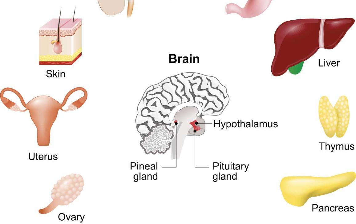 images of endocrine glands