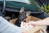 German shepherd puppy standing in the trunk of a car sold illegally