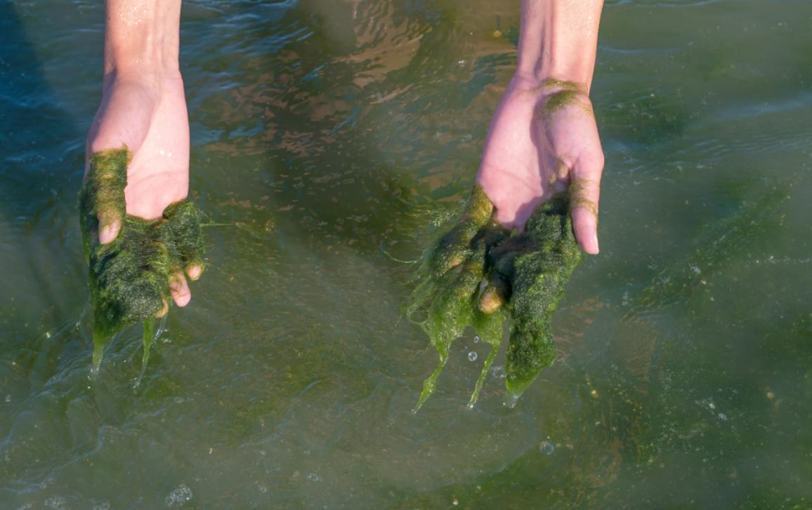 Green algae on the hands, muddy water, sea pollution.
