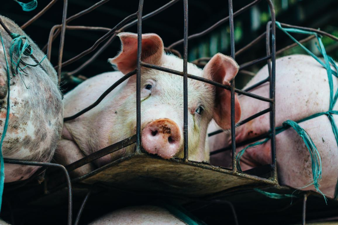 Pigs transport in cages