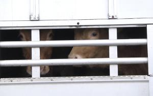 Parliament is urging EU countries to improve the welfare of livestock during transportation. Proposed measures include decreasing journey times and tougher penalties for offenders.