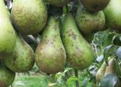 Pcfruit