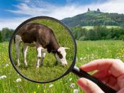 Cow in a field observed through a magnifying glass