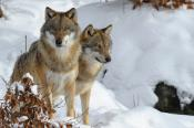 two wolves on winter background