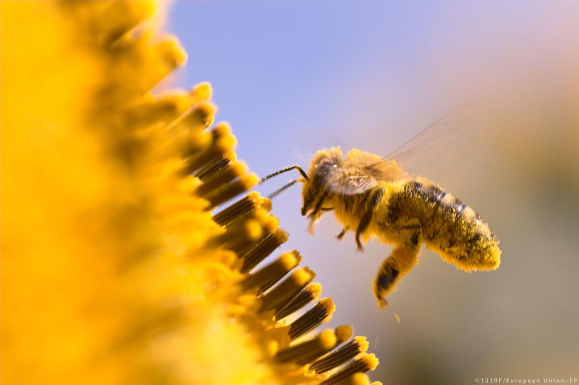 A macro of a honeybee in a sunflower.