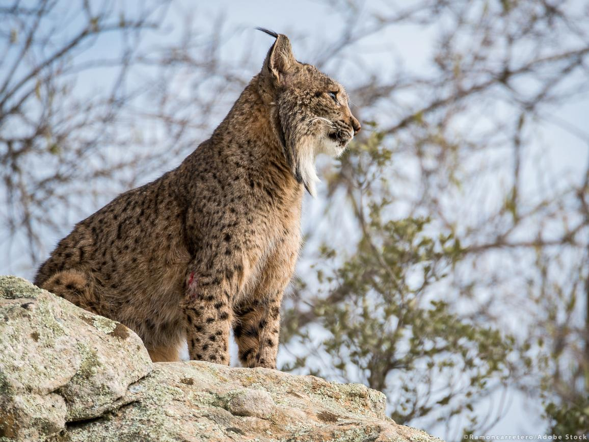 A nearly extinct Iberian lynx, Lynx pardinus, standing on a rock