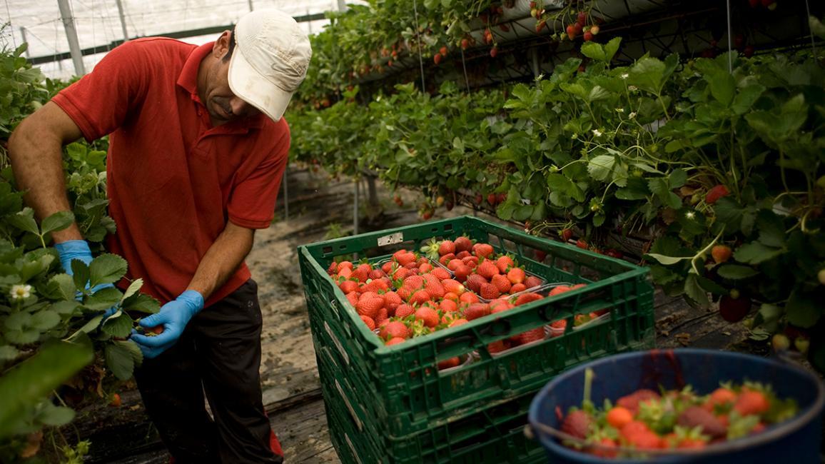 Un travailleur saisonnier cueille des fraises dans une serre.
