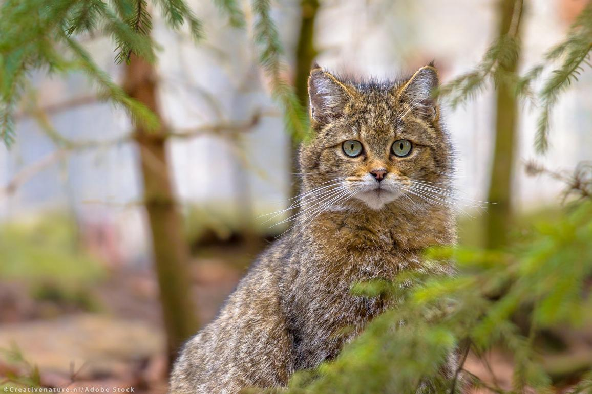 Cute close up of European wild cat
