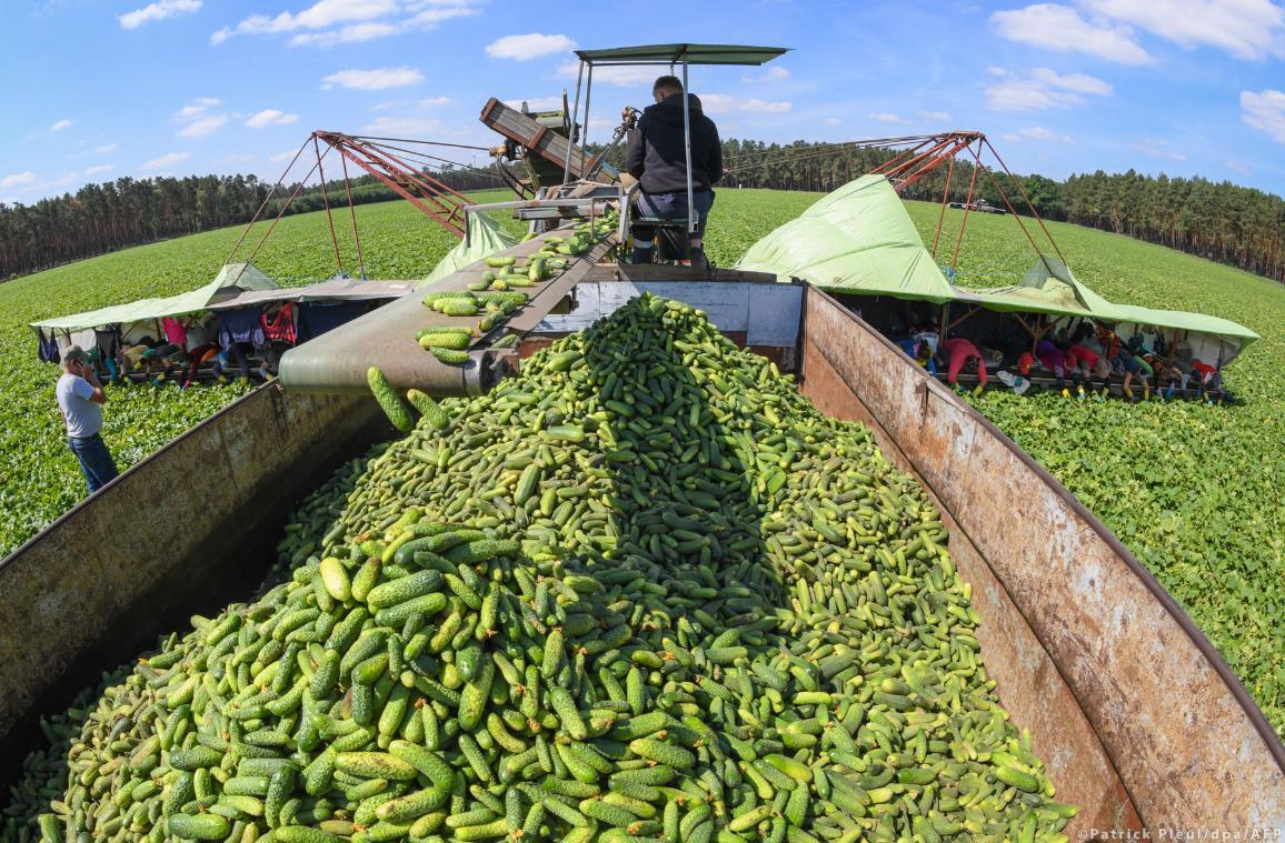 Saisonarbeiter aus Rumänien bei der Gurkenernte im Spreewald  ©AFP/DPA/Patrick Pleul