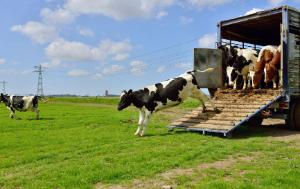 Cows jumping out of a truck