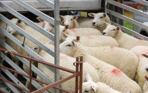 Sheep on a pick-up