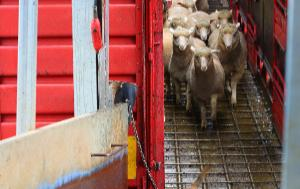 Unloading of sheep from a truck