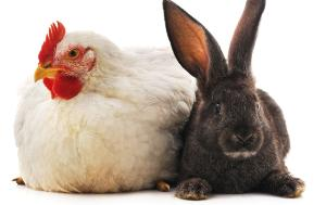 Image of a poultry and a rabbit