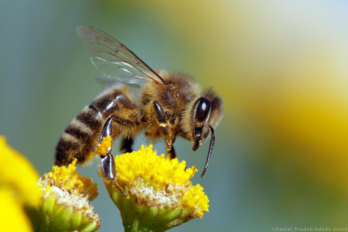 MEPs say urgent action is needed to stop the decline of bees and other pollinators ©AdobeStock/Daniel Prudek