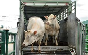 Two bovines on a truck