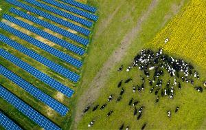 cows on a lawn with a graphic